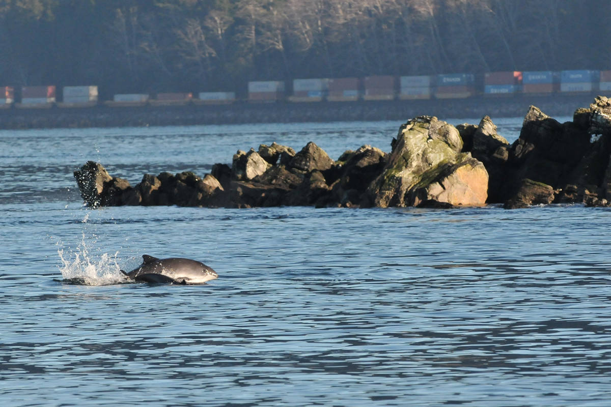 VIDEO: Strangely energetic harbour porpoises hang out off B.C.'s north coast