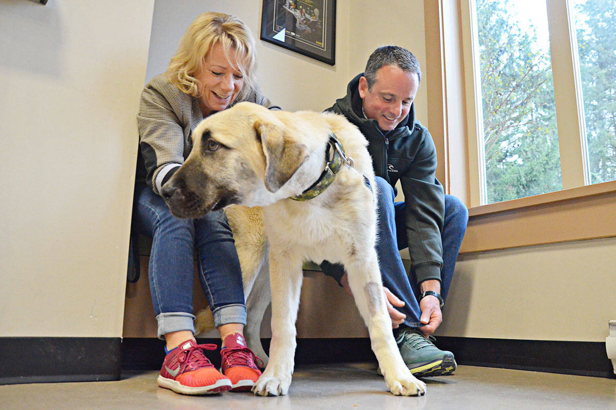 """Gunner, a young but large dog awaiting adoption at LAPS, offered """"help"""" to LAPS executive director Jayne Nelson and finance director Sean Baker as they tied their running shoes. The Furry Tails Foot Race fundraiser is coming up at the end of the month. (Matthew Claxton/Langley Advance Times)"""
