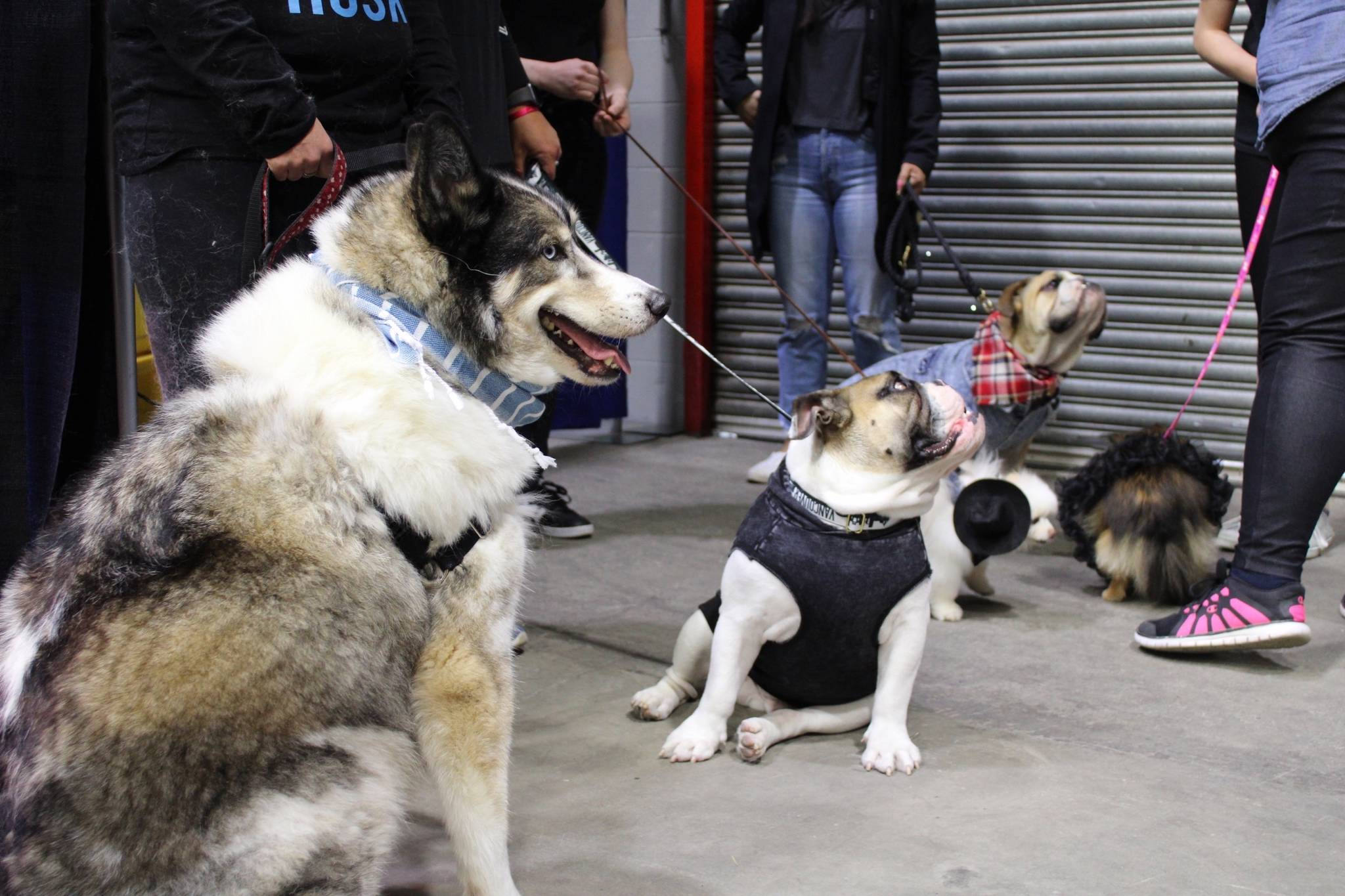 English bulldogs and even a pony were dressed up for the dog fashion show at the Here for Kids Expo inside the Cloverdale Agriplex (Photos by Kieran O'Connor/Black Press Media).