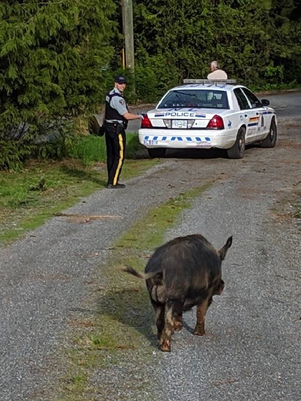 Police pursued a pesky porker Monday afternoon. (Submitted)
