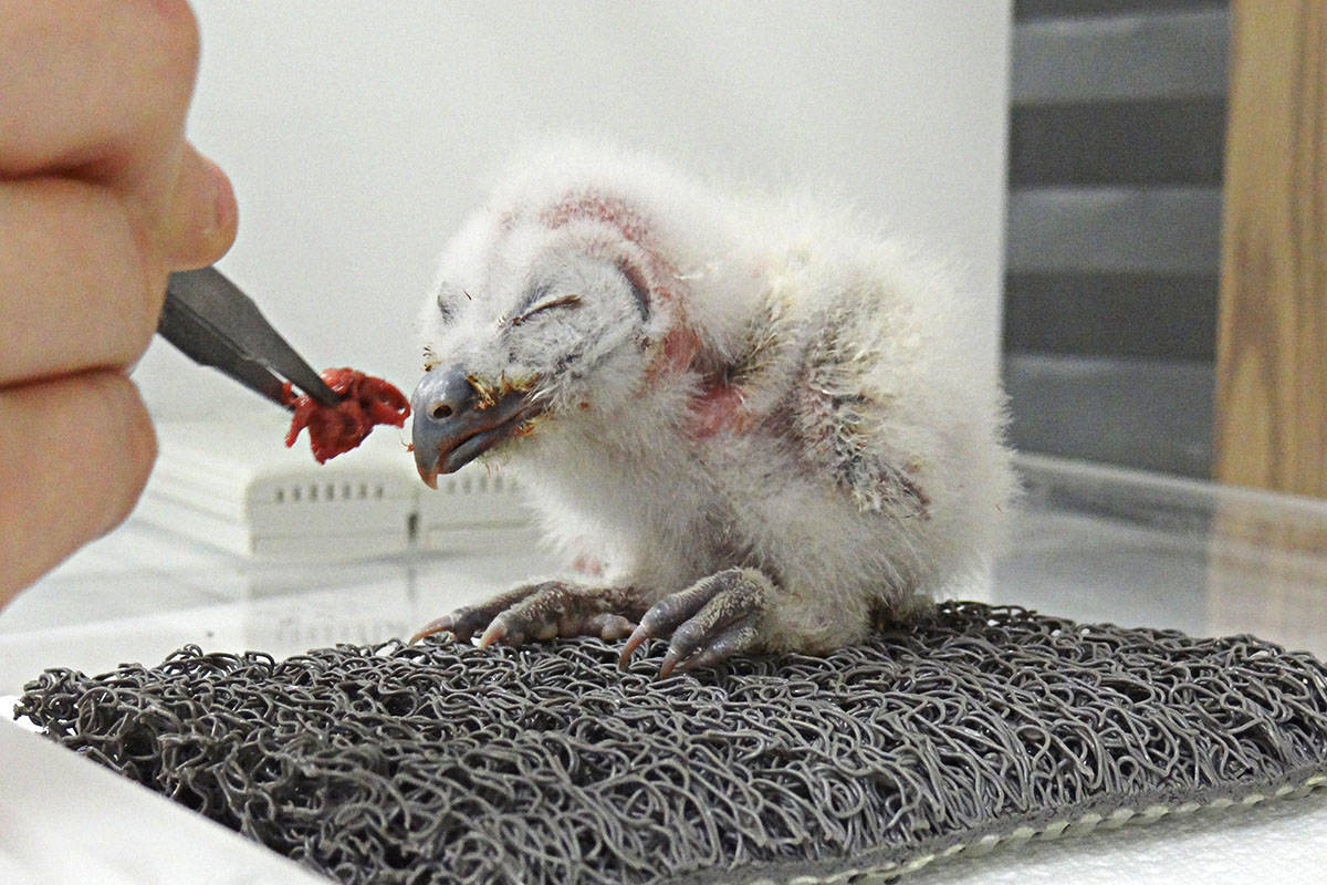 A nine-day old spotted owl chick born last year being hand-fed by a keeper. (Photo contributed)