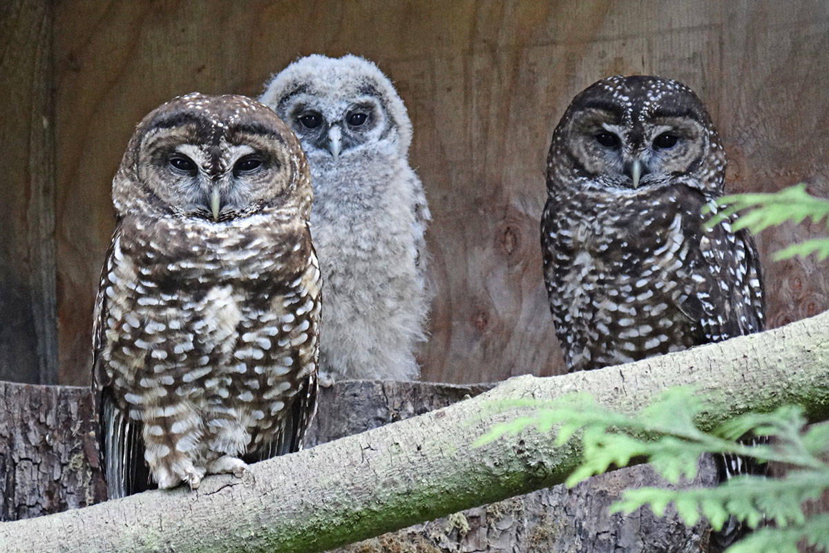 Owls Scud and Shania with their chick, Dante, born in 2017, at Langley's Northern Spotted Owl Breeding Program facility. (Photo contributed)