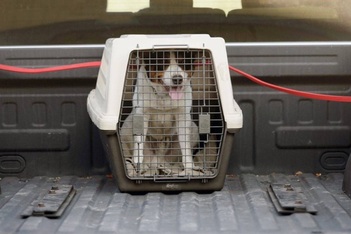 The safest way to transport animals is in a secured crate in a truck box. (BC SPCA)