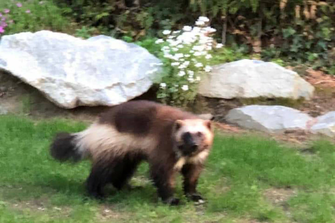 A wolverine was spotted near The Front in Harrison Hot Springs on Thursday, April 25.                                 (Harrison Hot Springs News and VIews/Facebook)