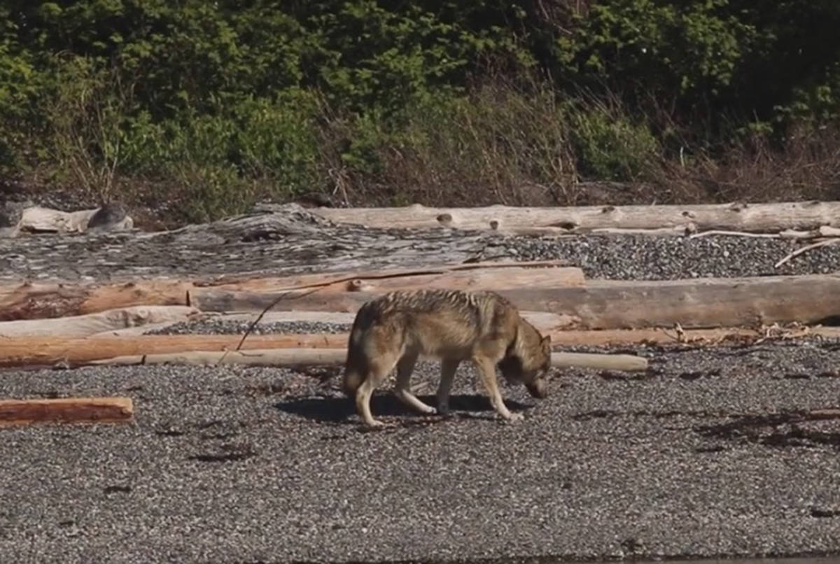 VIDEO: Takaya, the lone wolf that roams two B.C. islands, spotted on beach