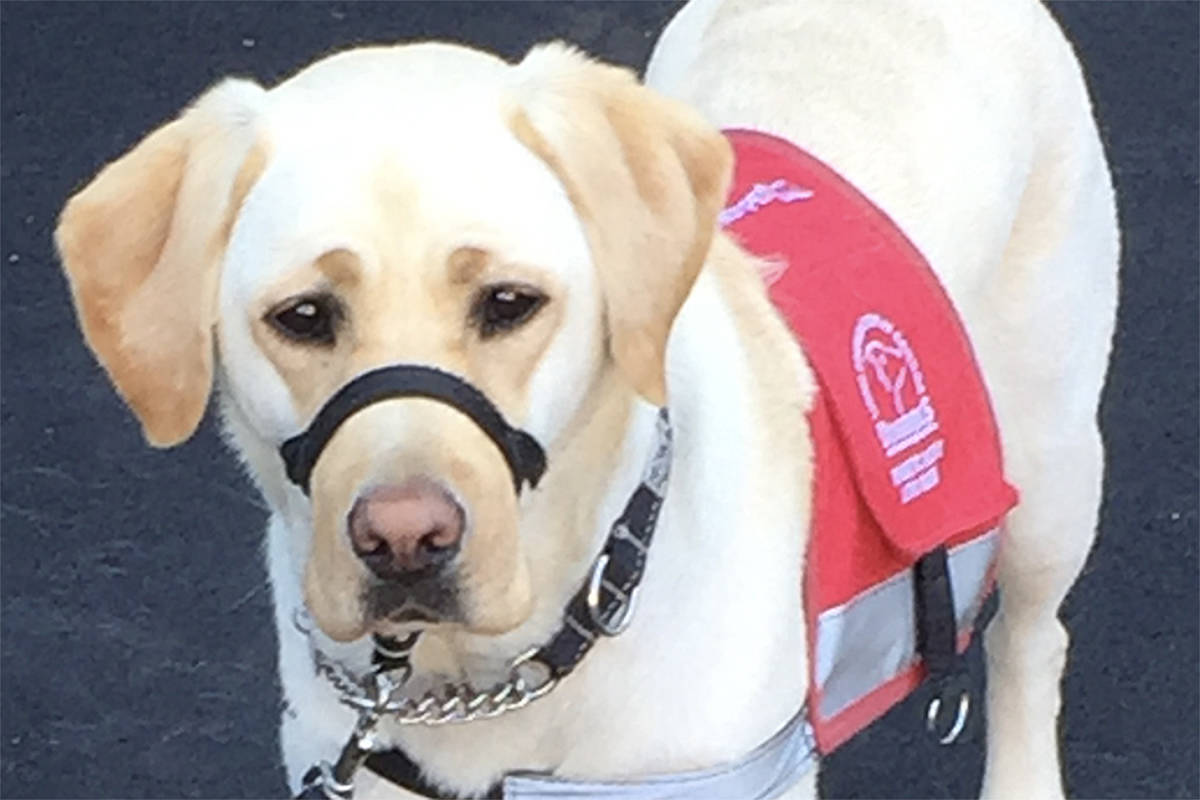 Ukita is a four-year-old yellow Labrador that is partnered with Langley's Cory Carter, thanks to the Lions Foundation of Canada Dog Guides. (Special to the Langley Advance Times)