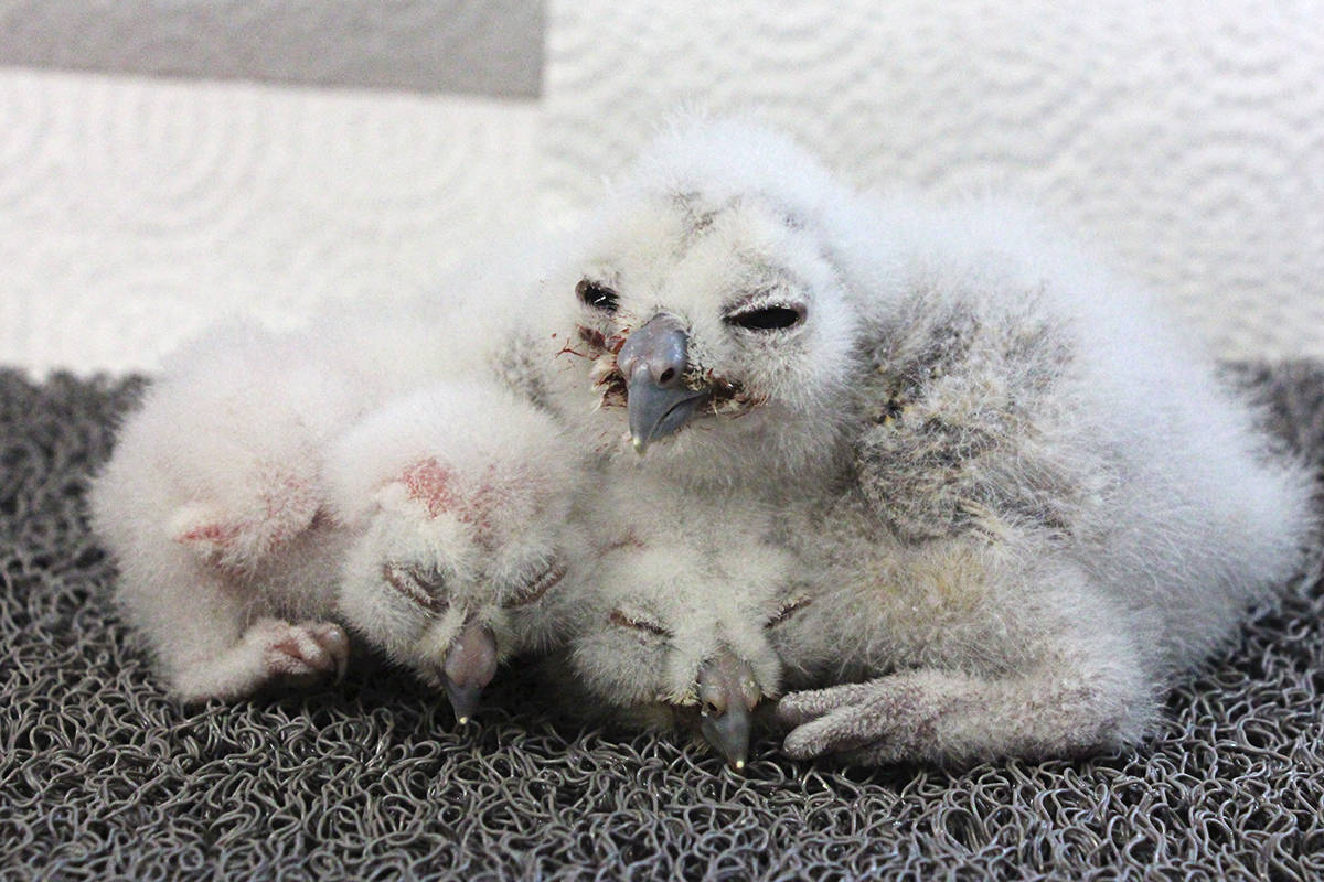 Three new northern spotted owl chicks were born this year at the breeding centre in Fort Langley.