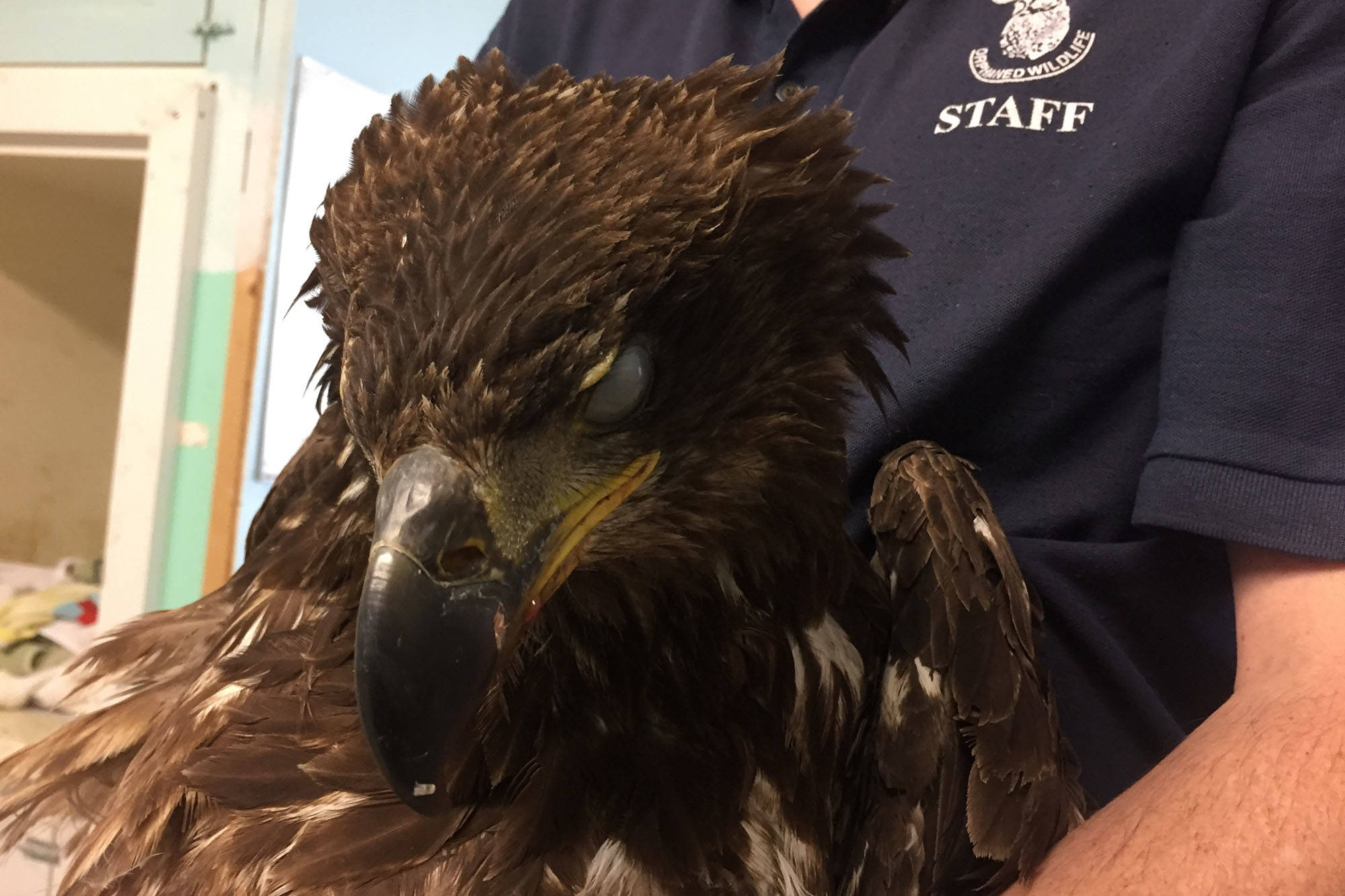 This eagle was found on the side of Highway 1 by an Abbotsford homeless man, and brought to the OWL Rehabilitation Society in Delta. Submitted photo