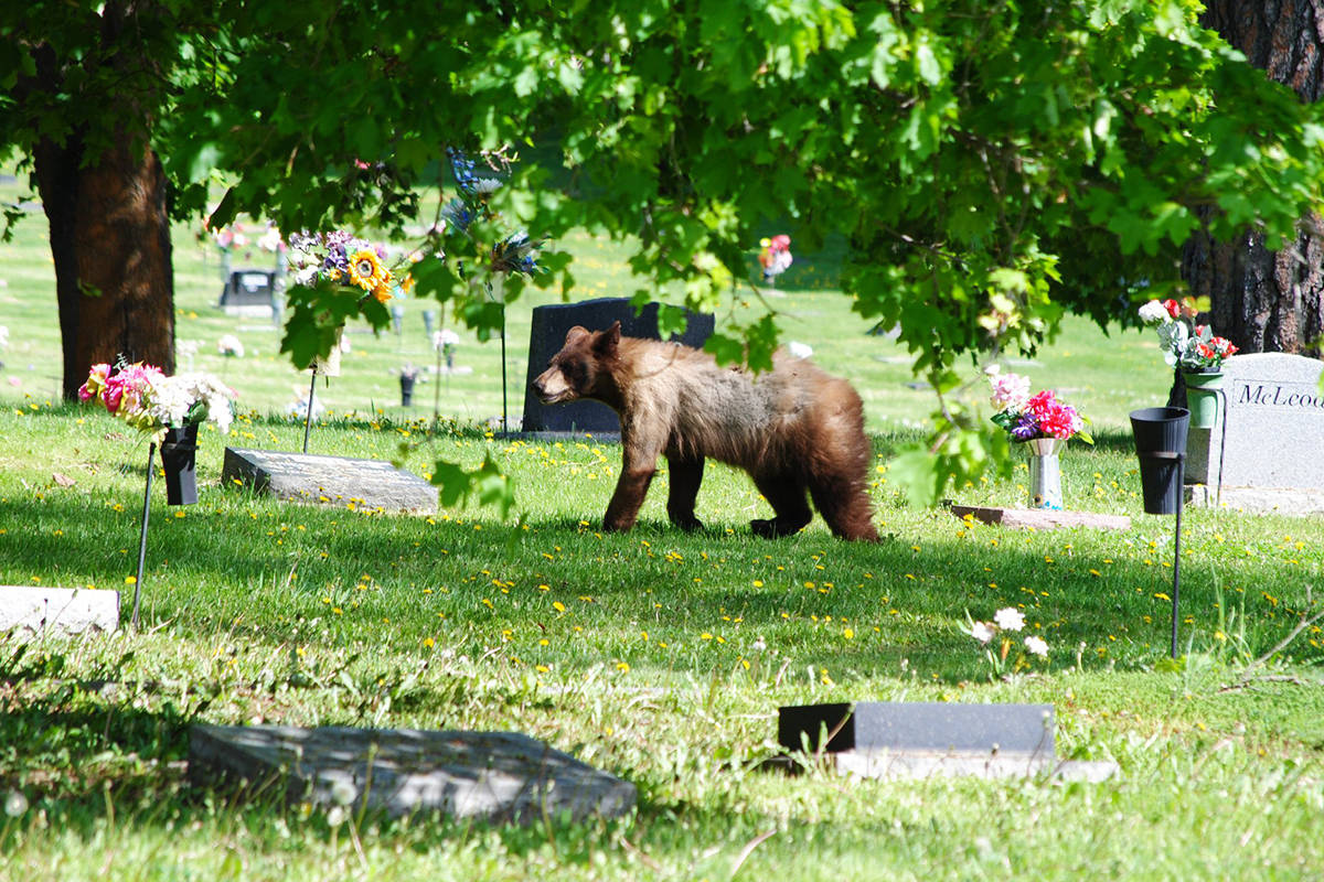Vernon amateur photographer Rory White captured this shot (and the two below the story) of a brown bear wandering among the headstones at the Vernon Cemetery Sunday. (Rory White - photos)