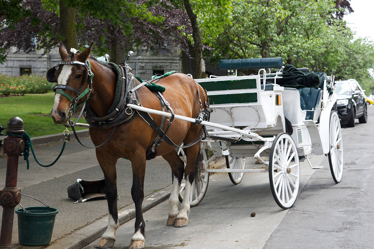 The City of Victoria is proposing a plan to phase out horse-drawn cariages by 2023 (Nicole Crescenzi/News Staff)