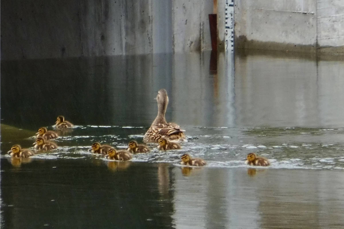 As ducklings can't yet fly, they are vulnerable to cars when waddling towards water sources. (Peninsula News Review File)