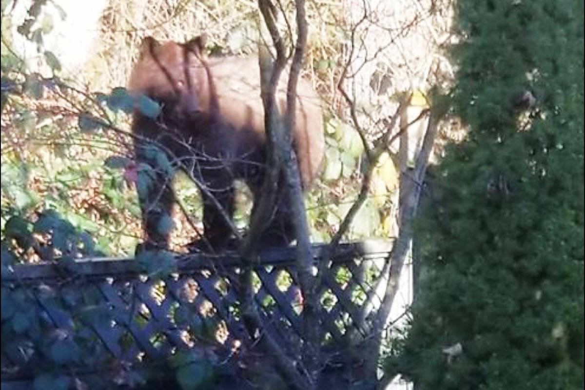A bear in a back yard in Maple Ridge. (THE NEWS files)