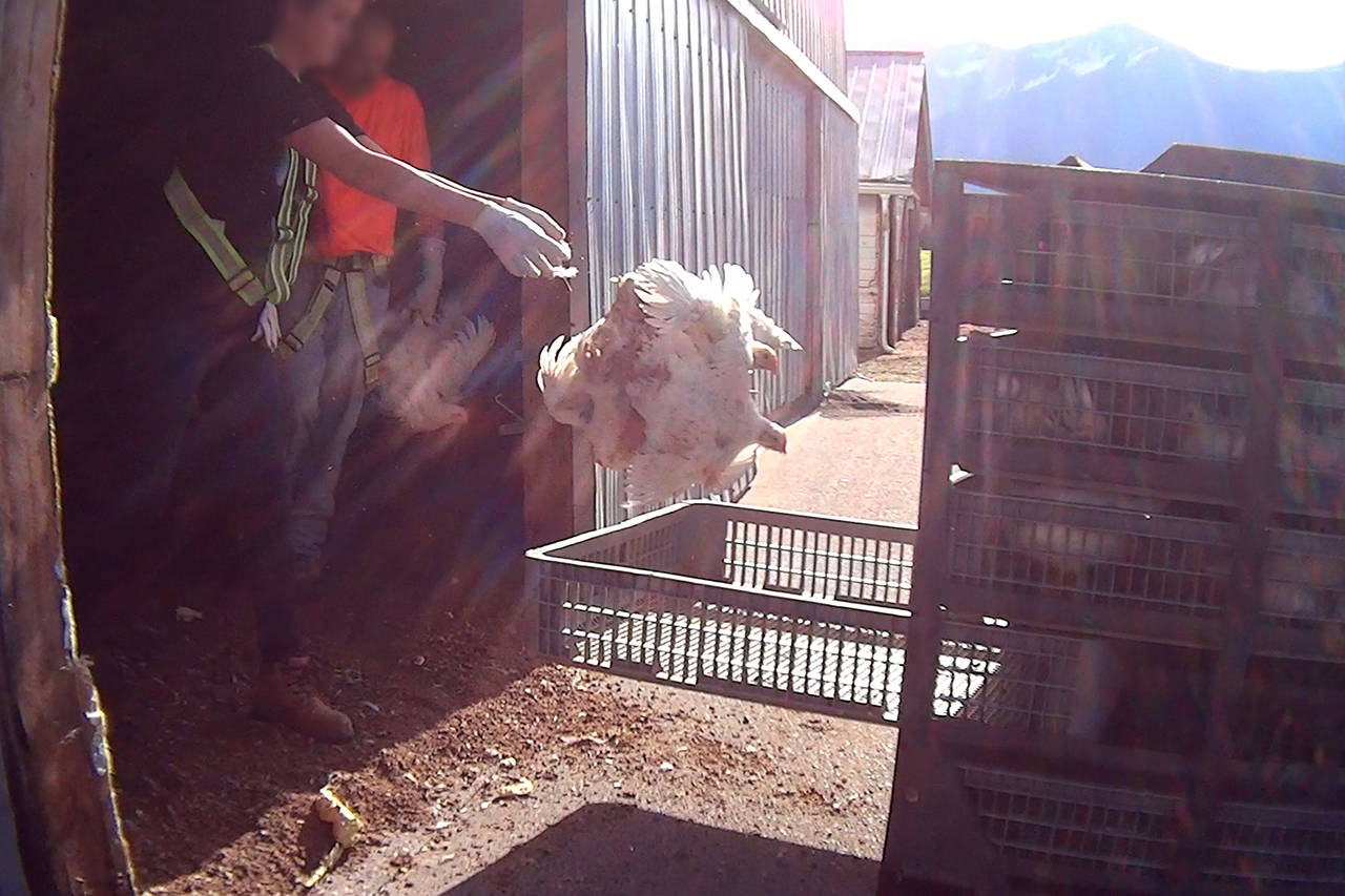 Workers seen throwing chickens at a Fraser Valley farm from an undercover video filmed by Mercy for Animals.