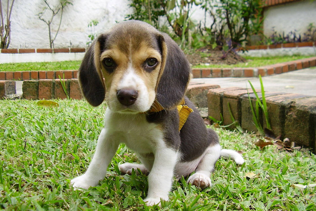 Too Cute To Be True Bbb Warns Of Fraudulent Beagle Puppy Ads