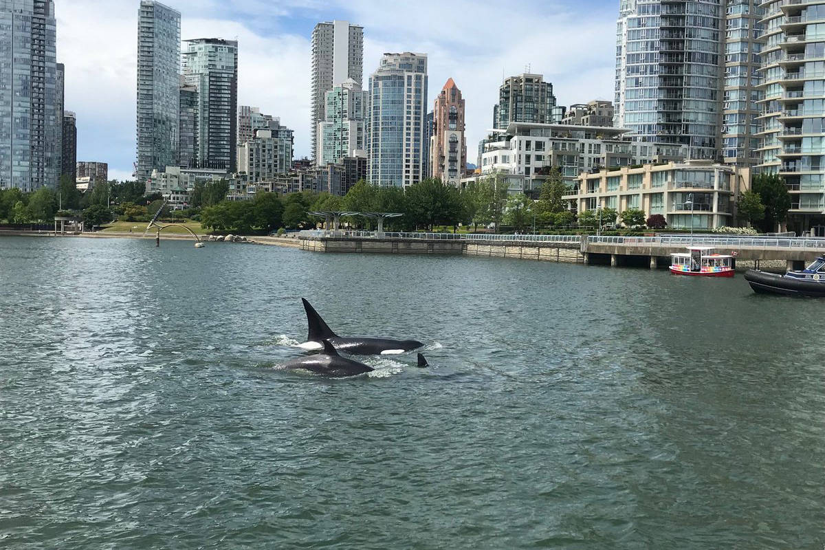 Orcas were seen swimming down False Creek Wednesday afternoon. (Jeff Wilson)
