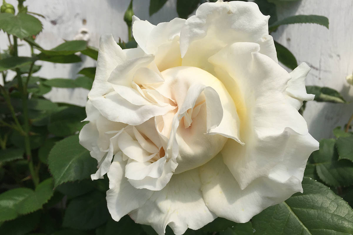 The Divine Miss M, developed in Langley, won't be available for local gardens for years.