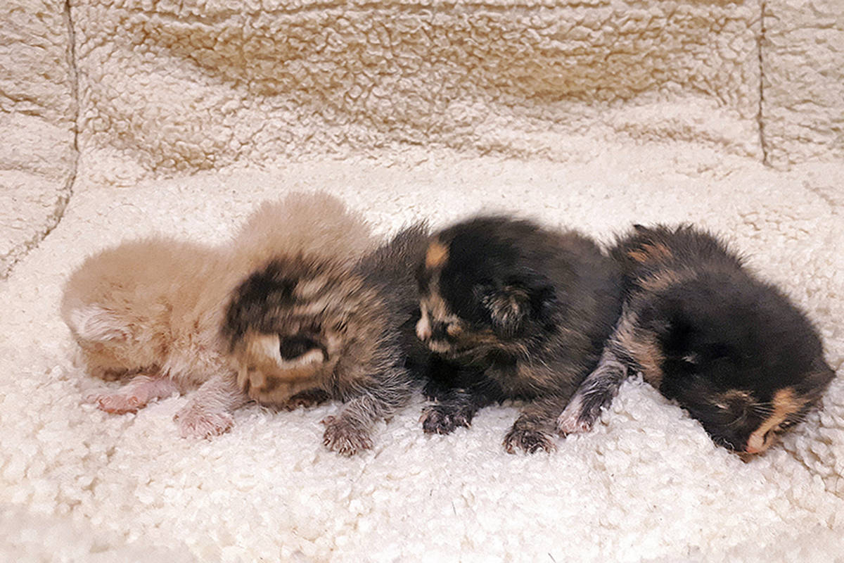 These week-old kittens were found in a box on a median in Maple Ridge. (Contributed)