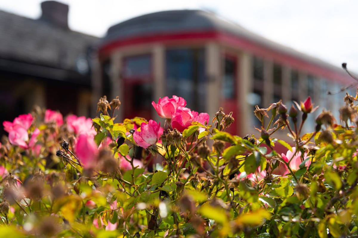 One of the Fraser Valley Heritage Railway Society's lovingly restored Interurban rail cars is seen through the roses. (Courtesy of the Fraser Valley Heritage Railway Society)