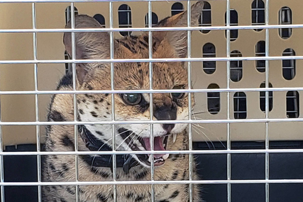 One of 13 serval cats and kittens seized from a breeder near Kamloops. (BC SPCA)
