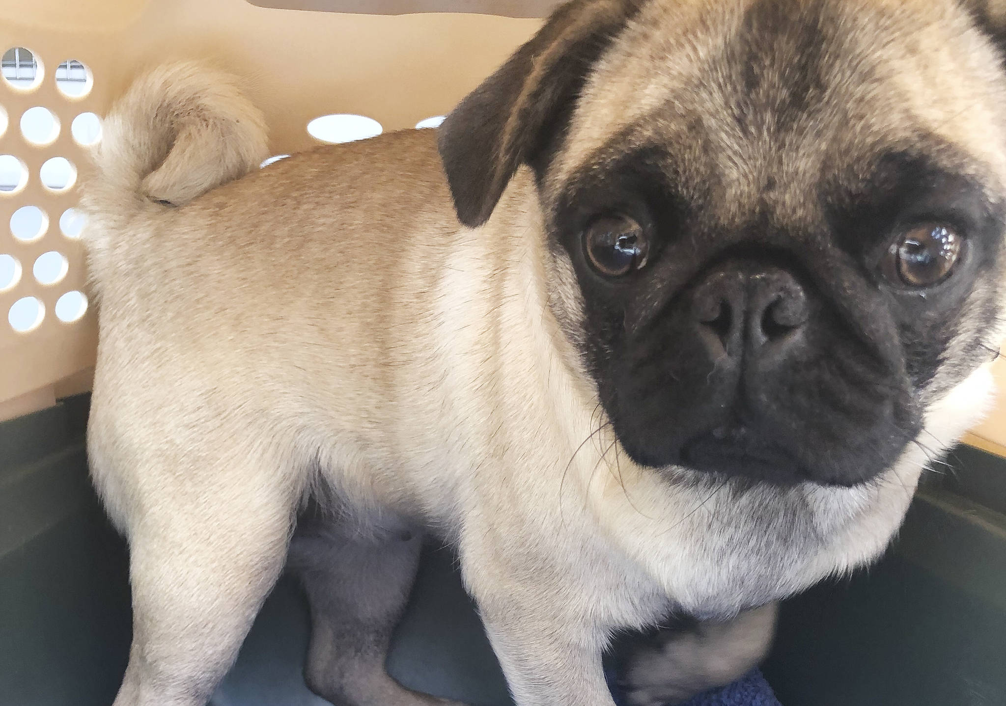 B.C. dog breeder surrenders pugs, French bulldogs to SPCA