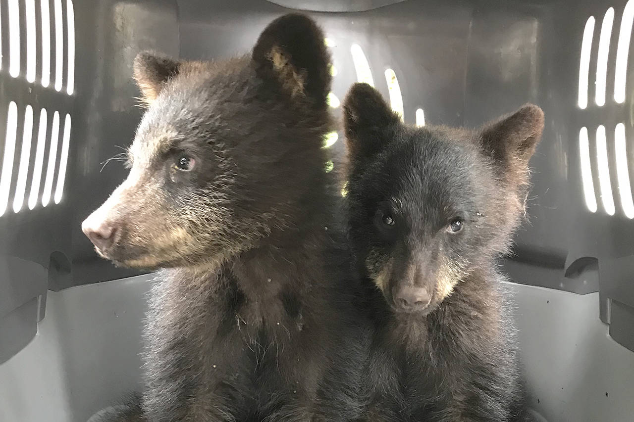 After their mother was hit and killed by a vehicle, a group of locals came together to save these two orphaned black bear cubs. Unfortunately, the cub on the right passed away shortly after being rescued. Photo by Lydia Koot