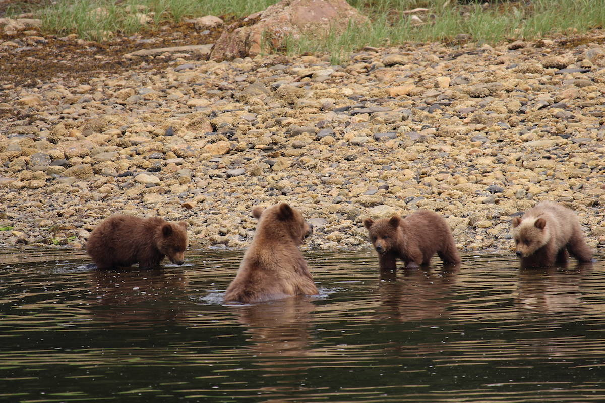 Mama bear, Blondie, gave birth to triplet cubs 1.5 years ago. They are the first healthy and safe trio to survive in Khutzeymateen Grizzly Bear Sanctuary in 13 years, after Blondie's first set of triplets were killed by a male bear hoping she would go in heat. (Jenna Cocullo / The Northern View)