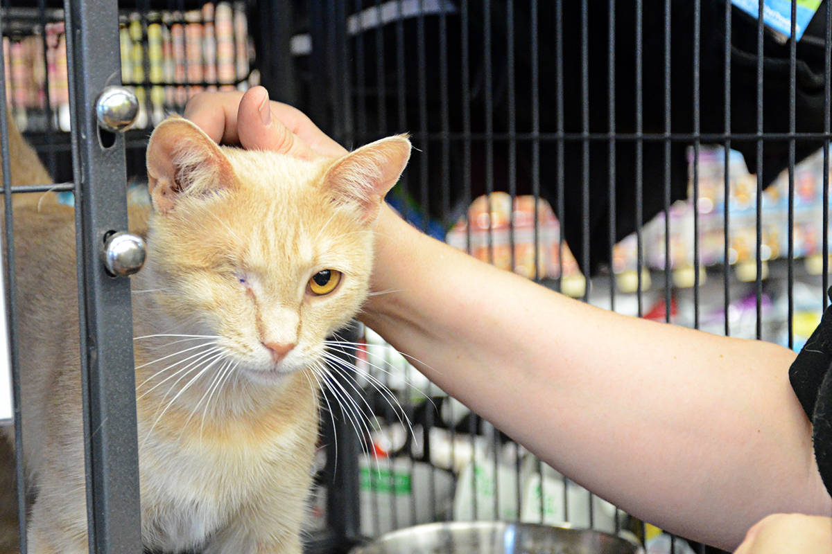 Langley's one-eyed Shelly one of many special needs cats in need of adoption