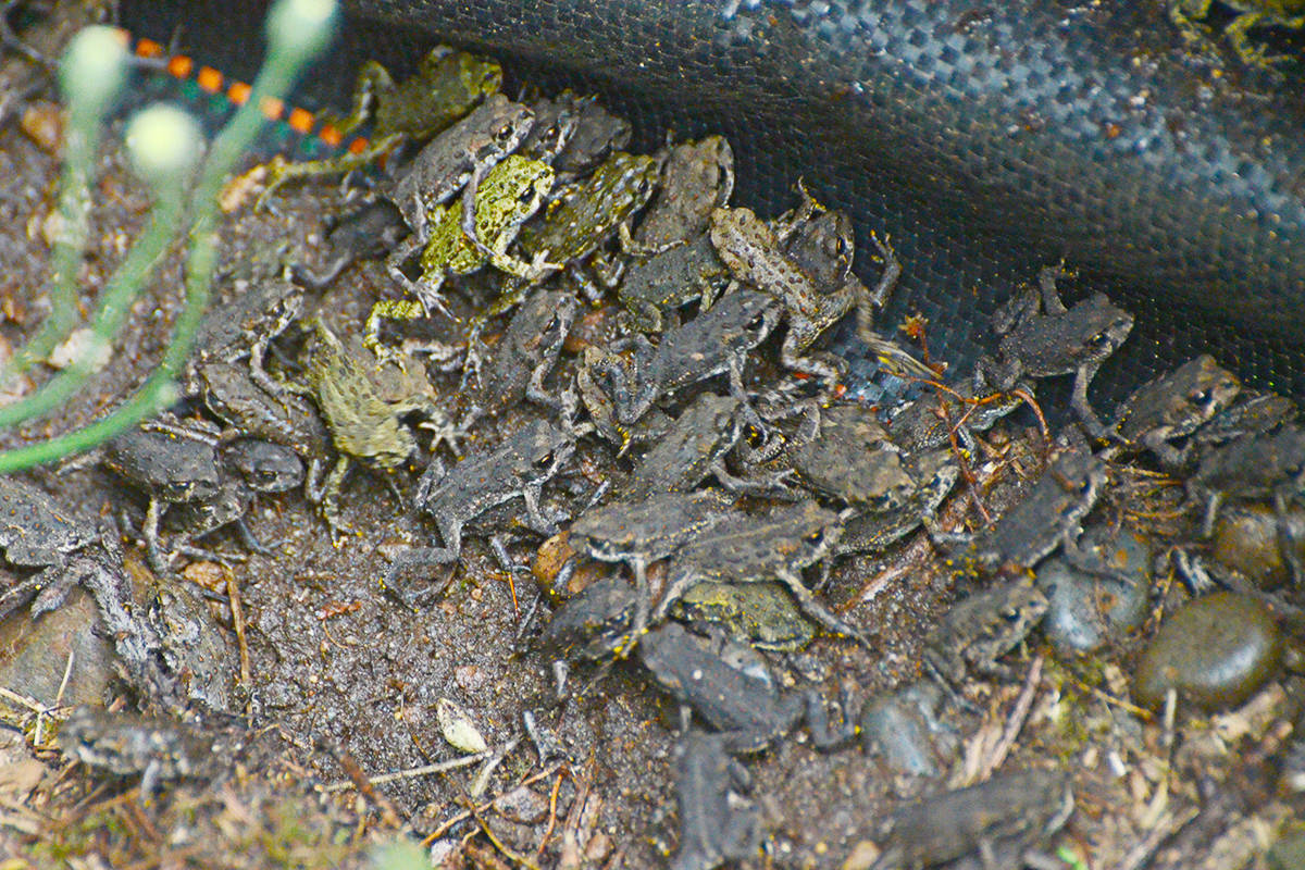 Several thousand western toads were migrating through rural properties in South Langley on Wednesday, their move sparked by the heavy rains. (Matthew Claxton/Langley Advance Times)