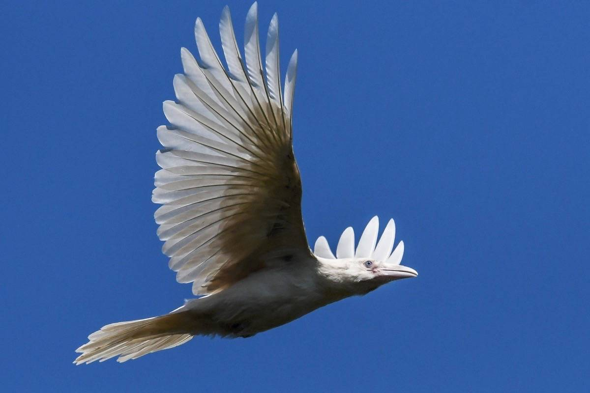 Nature photographer Mike Yip spotted this white raven in Coombs last month. - Mike Yip photo