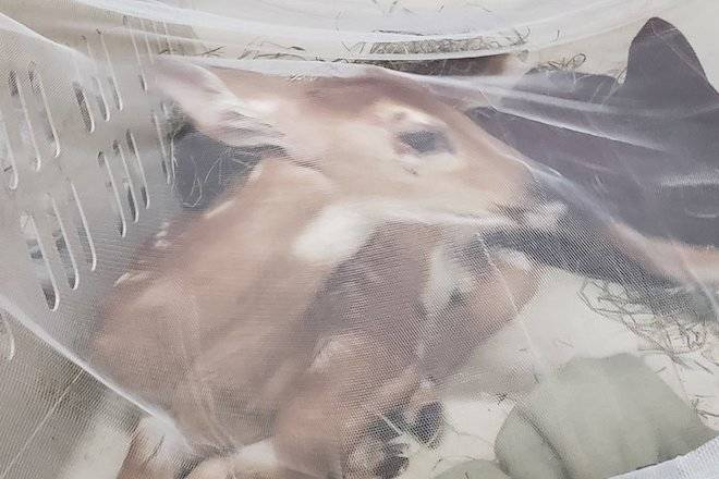 A baby deer named Gilbert is in need of a home at a licensed sanctuary, says Dr. Oz of Rose Valley Veterinary Hospital. (Facebook)