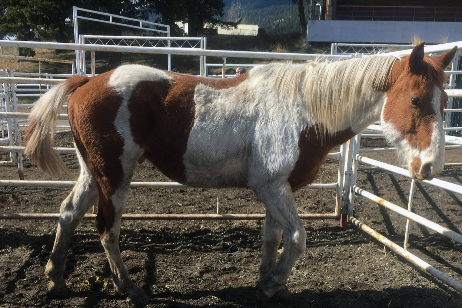 Care costs for 42 horses seized in B.C. now exceeds $70,000