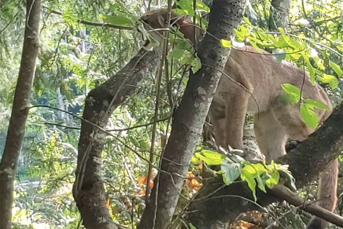 Video captured by Campbell River resident Tracy Bruce shows a cougar overhead at Lost Lake on July 20, 2019.