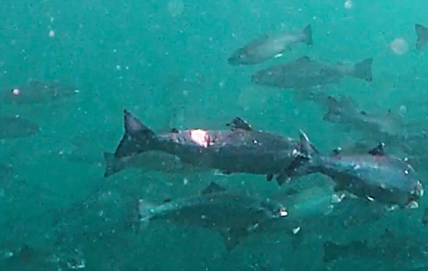 Screengrab from a video that Sea Shepherd Conservation Society said was taken using a GoPro at Grieg Seafood's Barnes Bay fish farm north of Quadra Island on July 27, 2019.