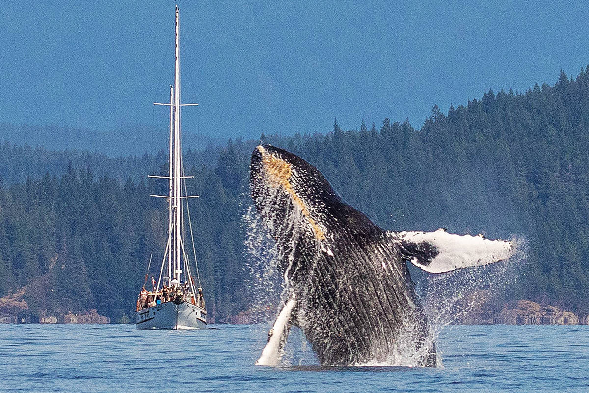 A humpback whale breaches right in front of Dreamspeaker 2, a 72' sailboat owned by Robert Millington of Campbell River. The spectacular moment occurred off the south end of Cortes Island. Photo by Jos Krynen/Eagle Eye Adventures