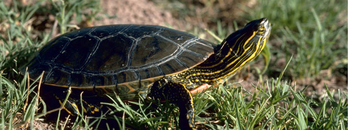 The Greater Vancouver Zoo's efforts to boost populations of the endangered Western Painted Turtle are in the spotlight during the Turtle Dash fundraiser run on Sept. 14