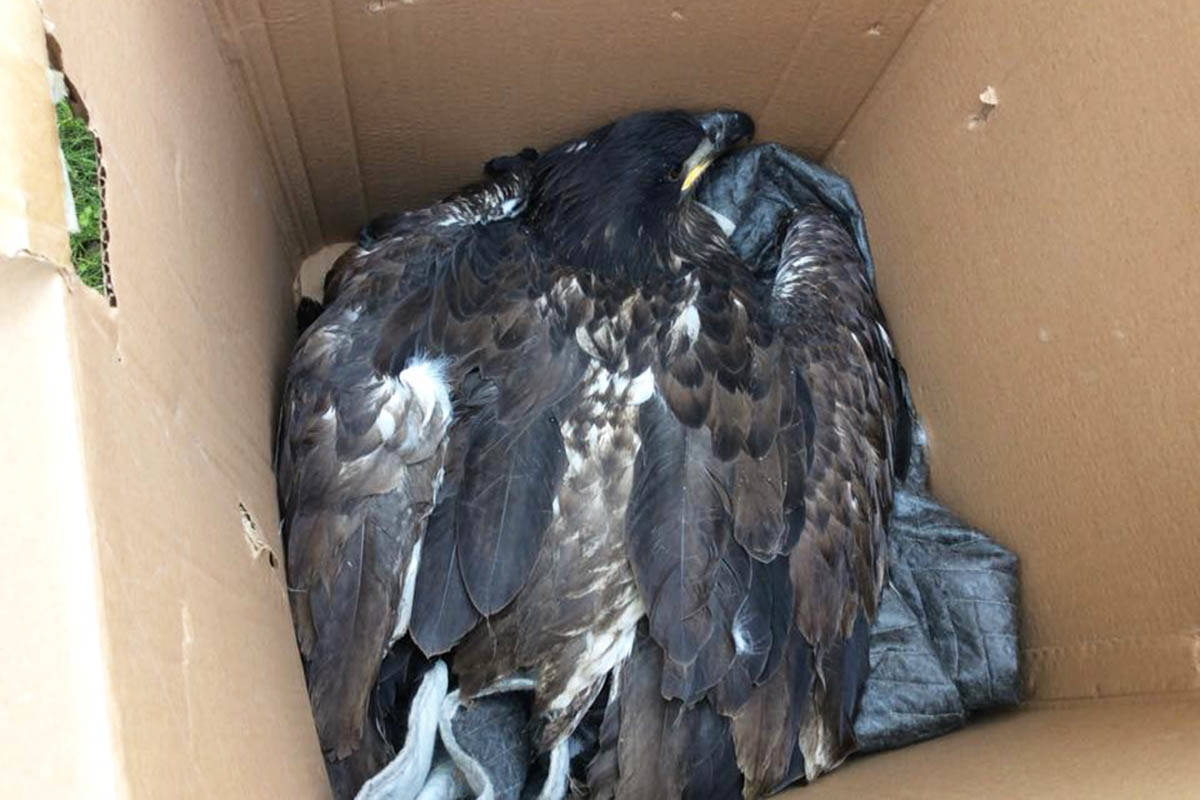 After a branch made a fist-sized hole in the eagle's wing, the bird was rescued and transported to the BC Wildlife Park in Kamloops. (Photo submitted)