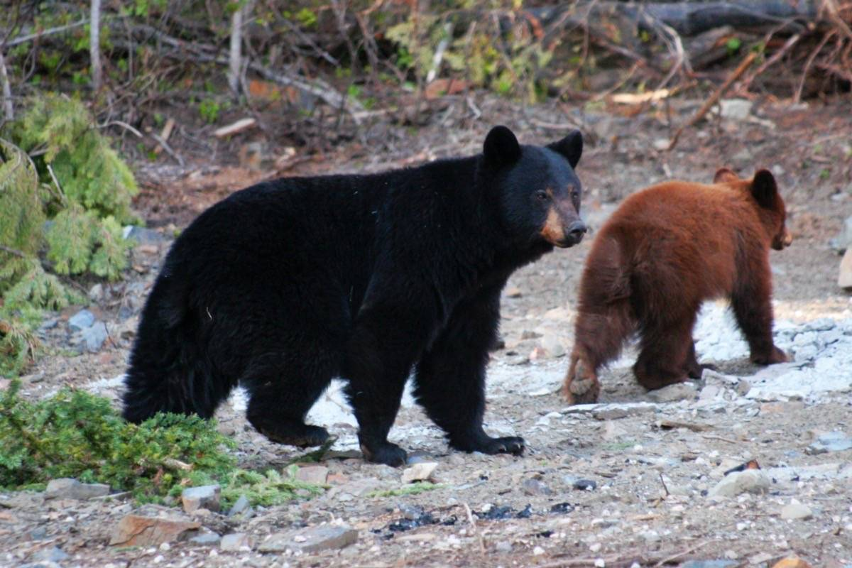 FILE – Black bears who get into people's trash can be dangerous, conservation officers warn. (Black Press Media files)