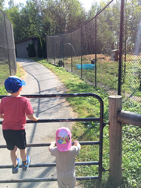 A Langley Times Advance reader sent in this picture of the bear fence at the zoo, taken two days ago, arguing it was misleading to say that there were two fences because one fence was actually a gate.