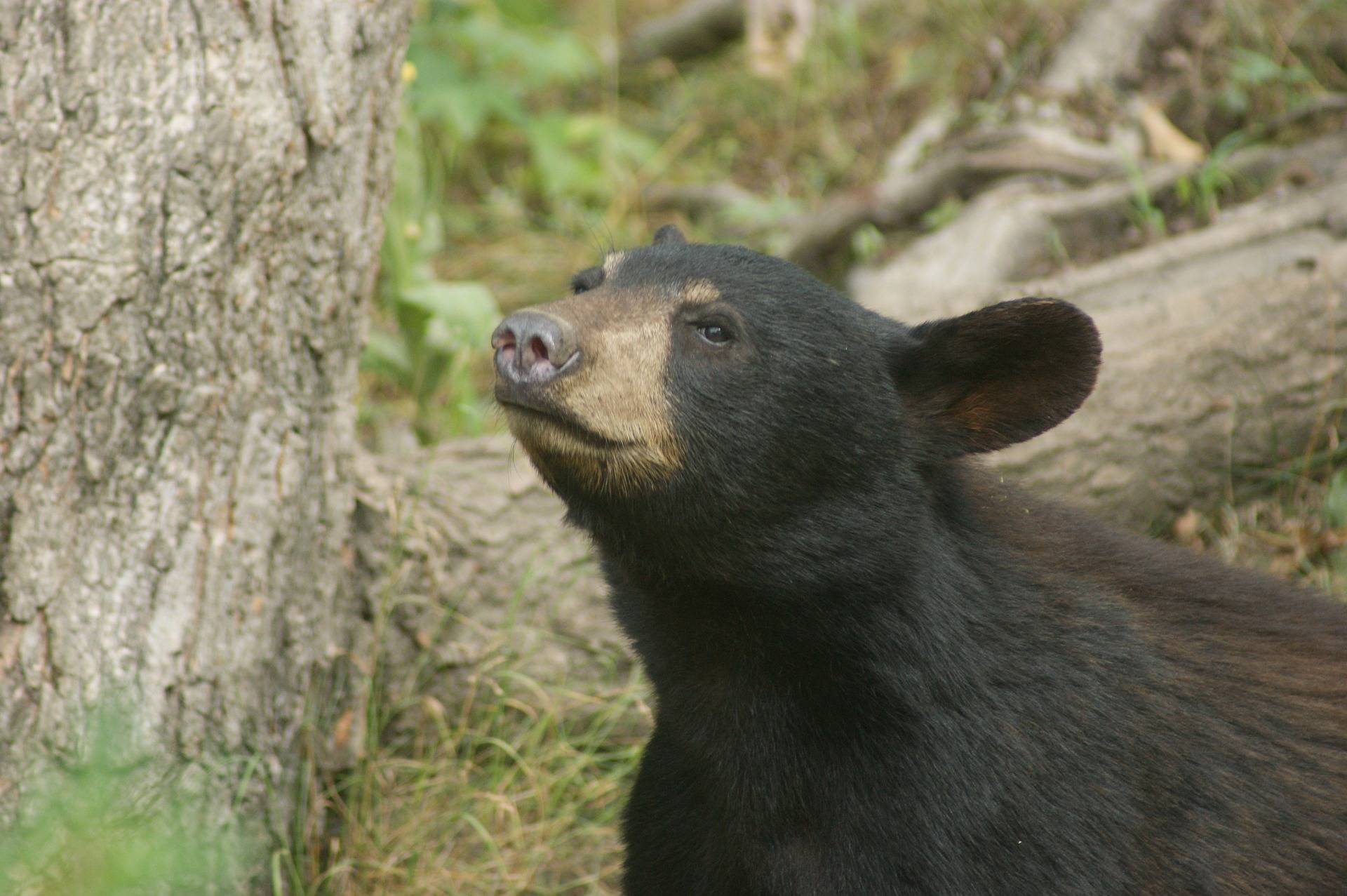 A bear spotted in the Canadian woods. (Black Press Media files)