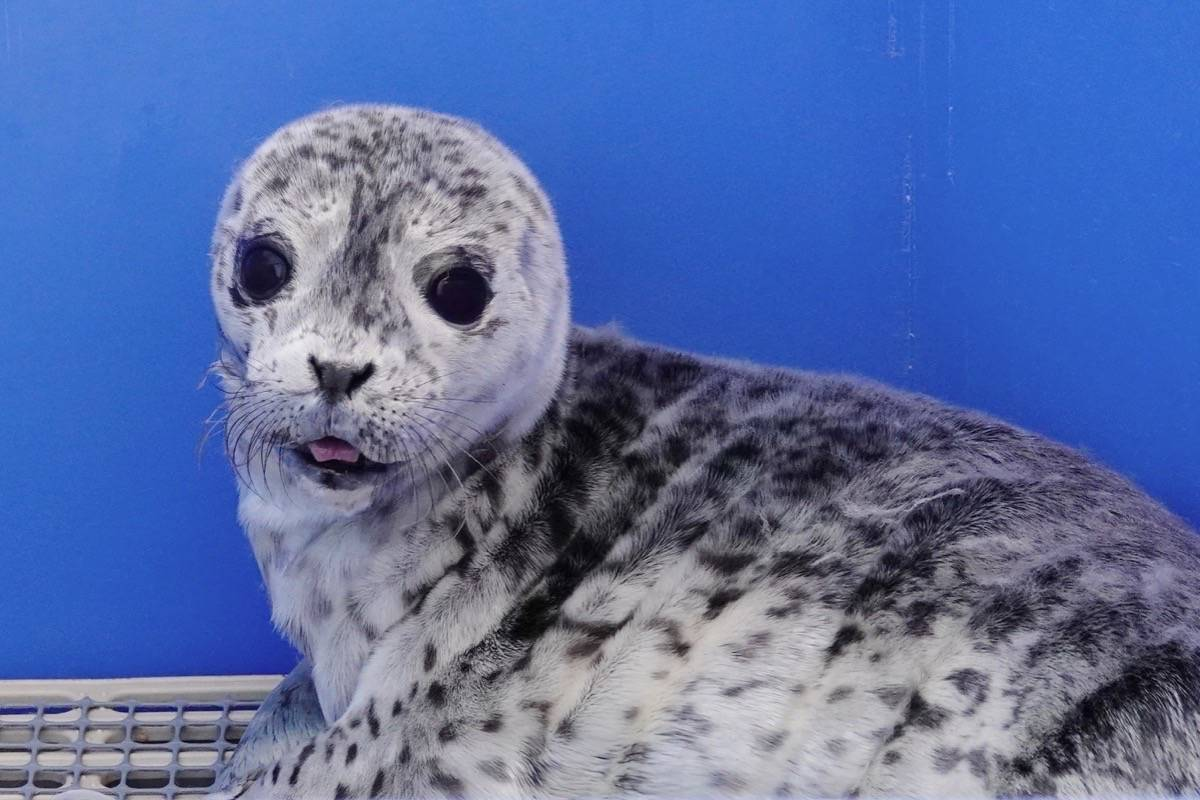 A well-meaning person brought this seal pup, now named Shellen Degeneres, to the Marine Mammal Rescue Centre. Staff say people should leave the pups alone and call authorities. (OceanWise)