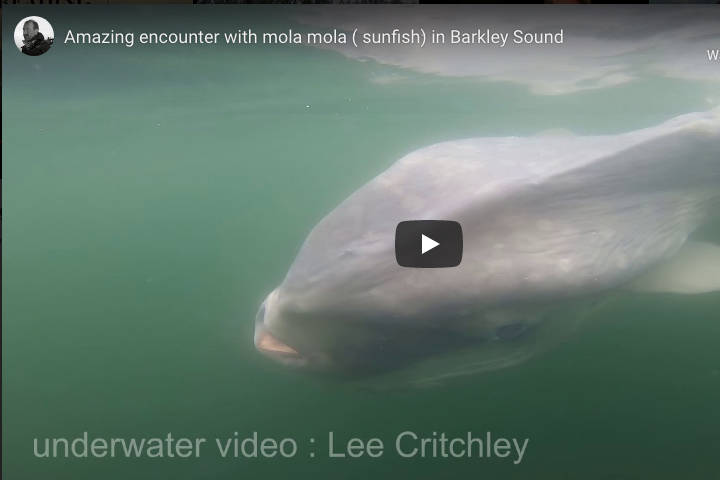 Divers on a charter with Rendezvous Dive Adventures from Rainy Bay, B.C. encounter a giant ocean sunfish in the waters of Barkley Sound. VIDEO COURTESY PETER MIERAS