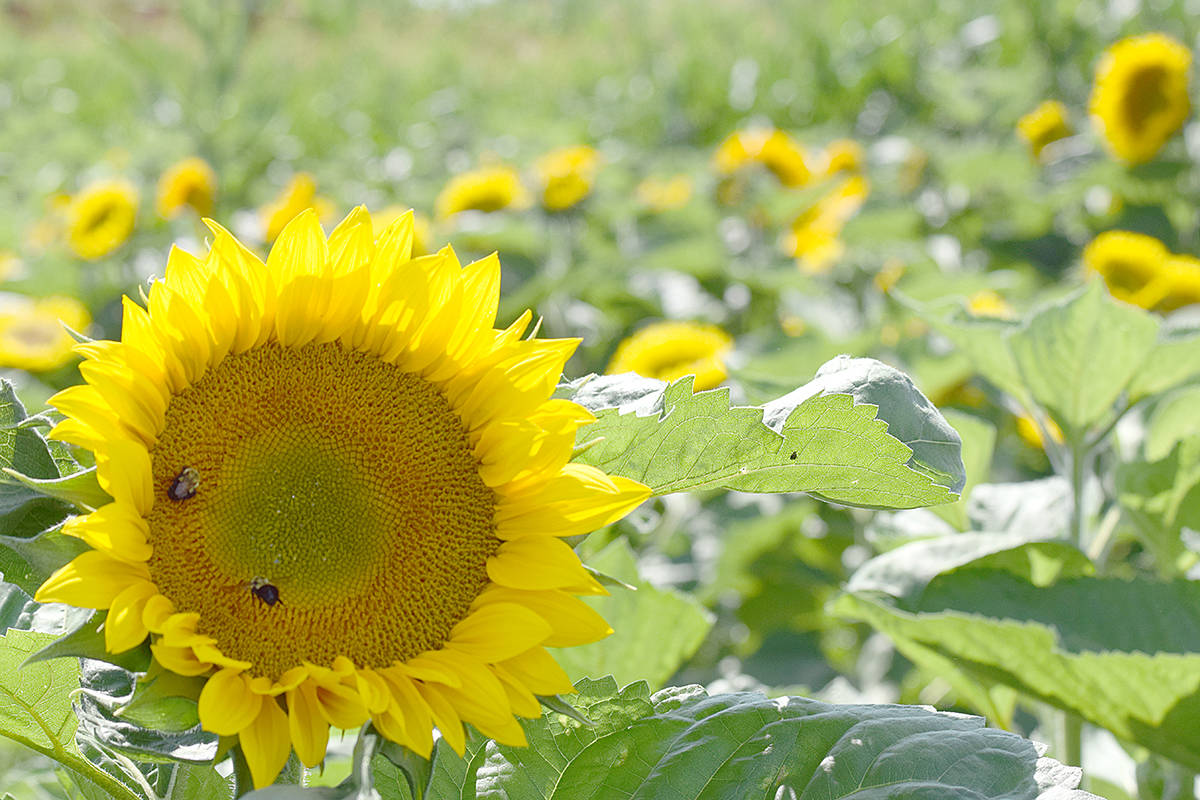 First sunflower festival in Abbotsford sprouts-off this weekend