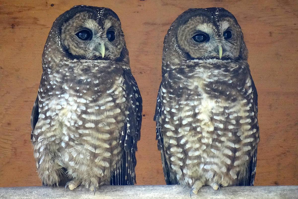 Endangered owl breeding program welcomes five new chicks to Langley