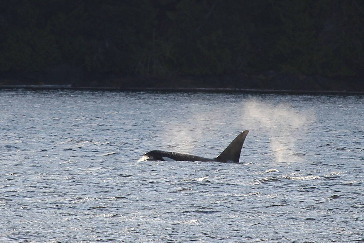 A whale frolicks in the waters off B.C. (Black Press file)