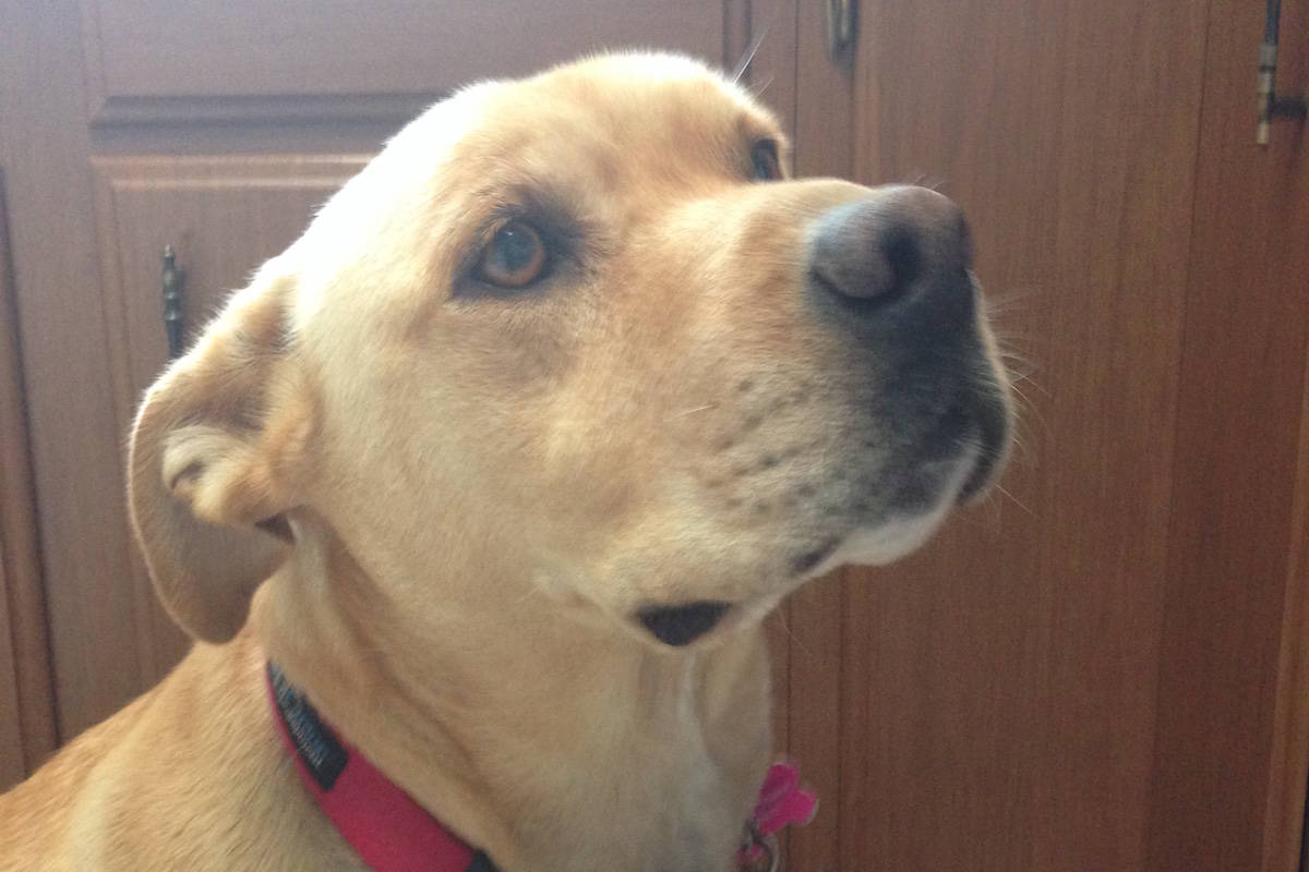 Penny, the 80 lb. lab cross, was allegedly attacked by four river otters while swimming in the Okanagan River Channel the morning of Aug. 23. Her owner, Marie Fletcher, said she witnessed them pull her under the water before she was ale to break free, after suffering multiple scratches and bite marks. (Photo submitted)