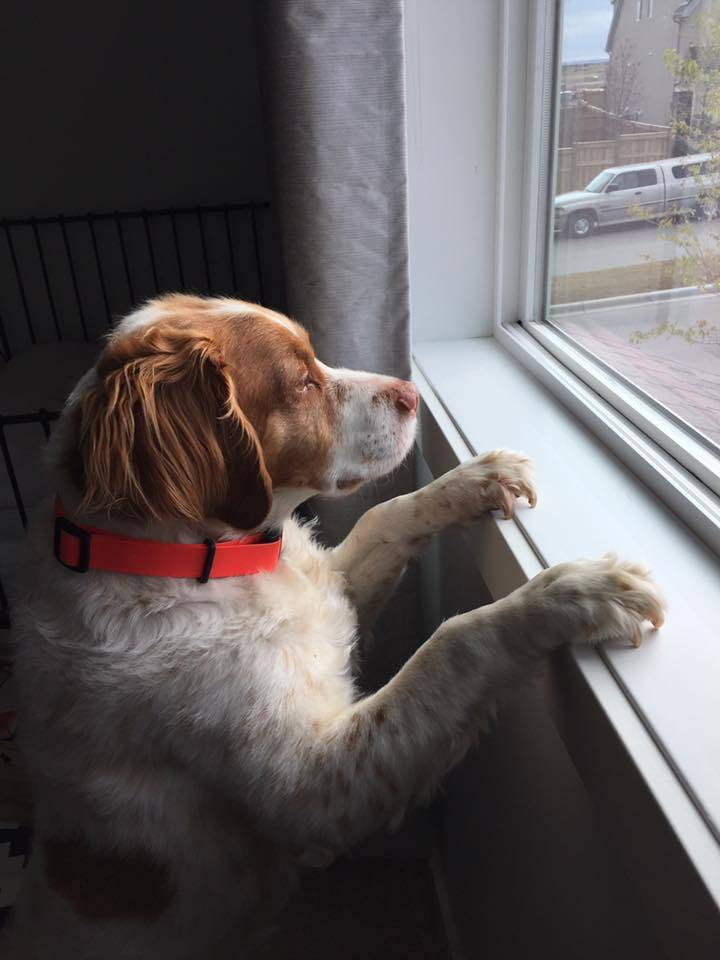 Rosco stares out the window, probably at a bird. (Debra Smith)