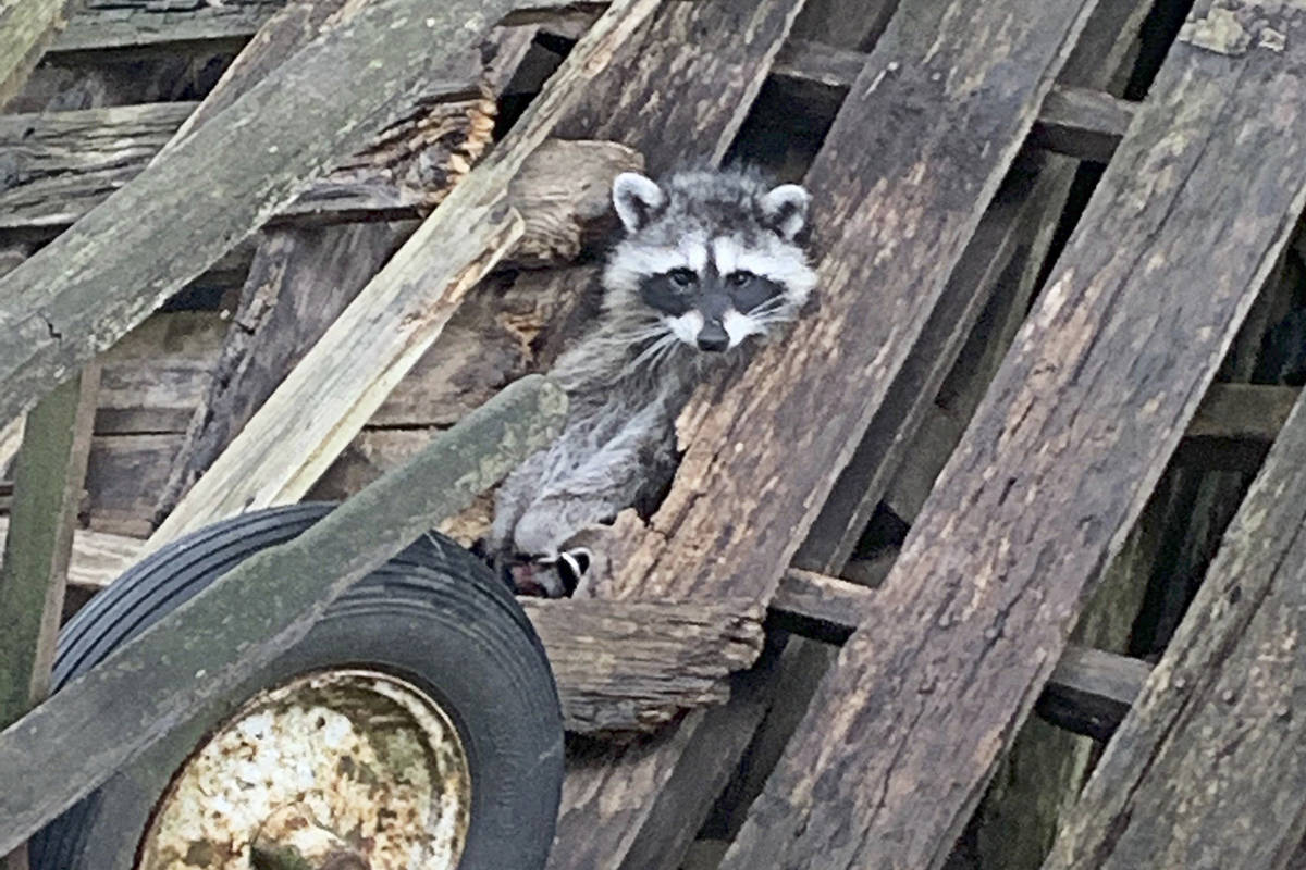 A raccoon found last week had to be euthanized after its front paws were crushed by a trap. (Critter Care Wildlife Society)