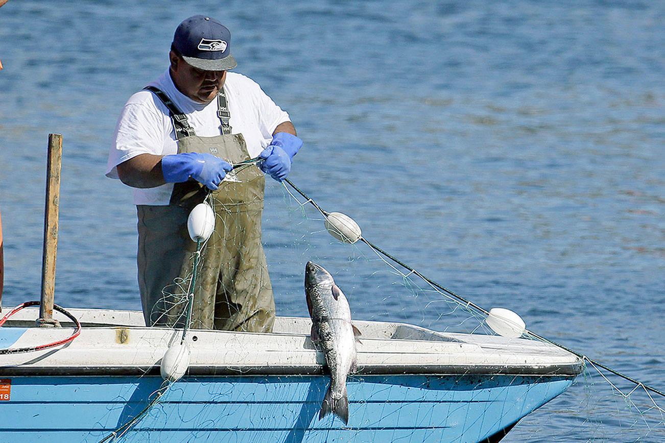 In this photo taken Thursday, Sept. 14, 2017, Suquamish fisherman John Jones pulls in a salmon he caught in a gill net just outside the Ballard Locks in Seattle. (AP Photo/Elaine Thompson)