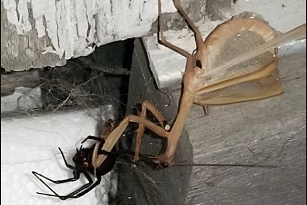Black Widow squares off with Praying Mantis in West Kelowna home. (Varina Stone/Youtube)