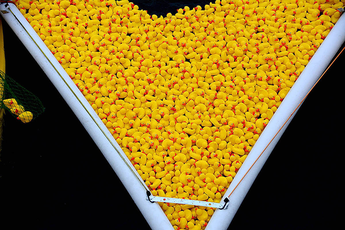 Thousands of rubber ducks sit at the starting gate, awaiting the start of the Ducktona 5000, a fundraising event for the Crescent Beach branch of Royal Canadian Marine Search and Rescue. (Contributed photo)